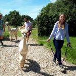 Three people walking two alpacas through the Little Orchard Alpacas fields