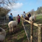 Four people walk the Little Orchard alpacas through a gate into the field