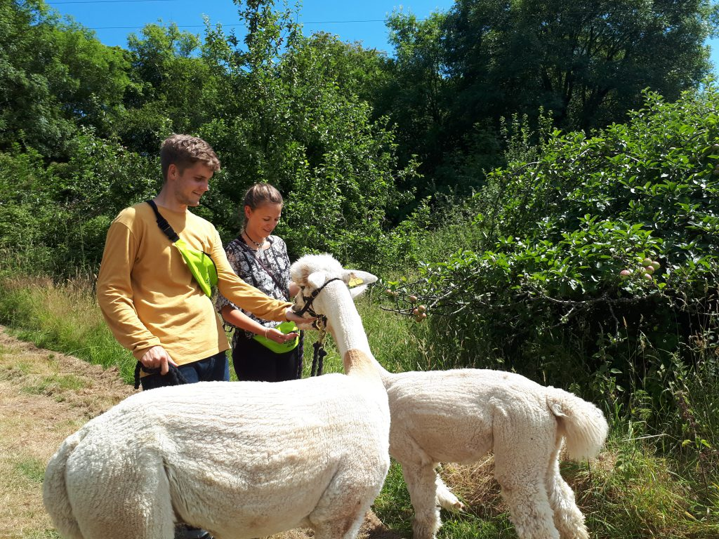 A man and woman feeding two alpacas whilst on a walk with them