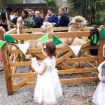 Wedding guests stand around two alpacas in a pen decorated with bunting