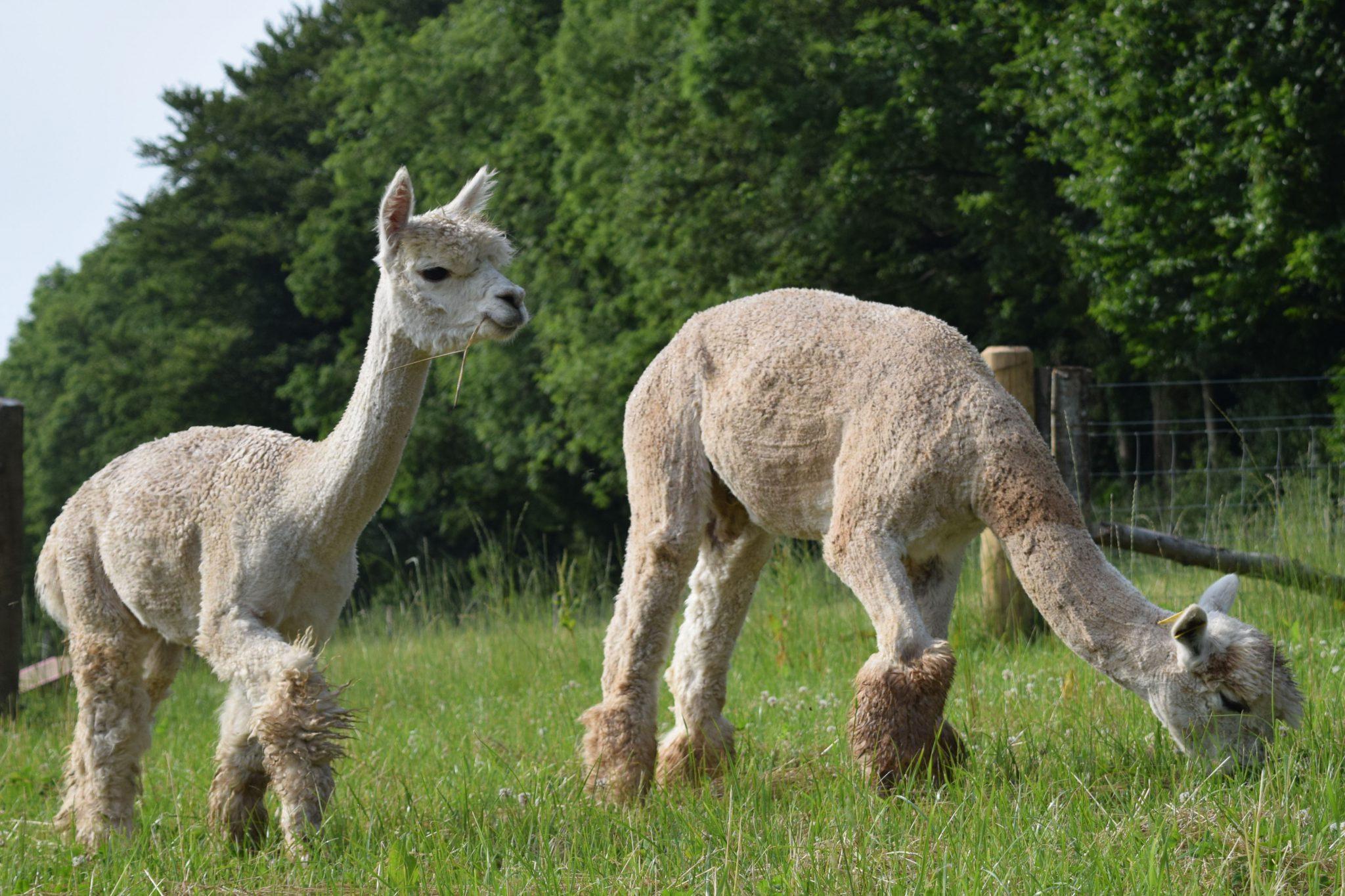 Two alpacas grazing in a field