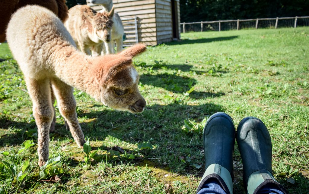 A baby cria investigating the boots of a person sitting on the ground