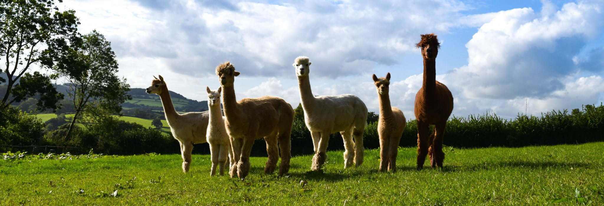Six alpacas standing in the Little Orchard field