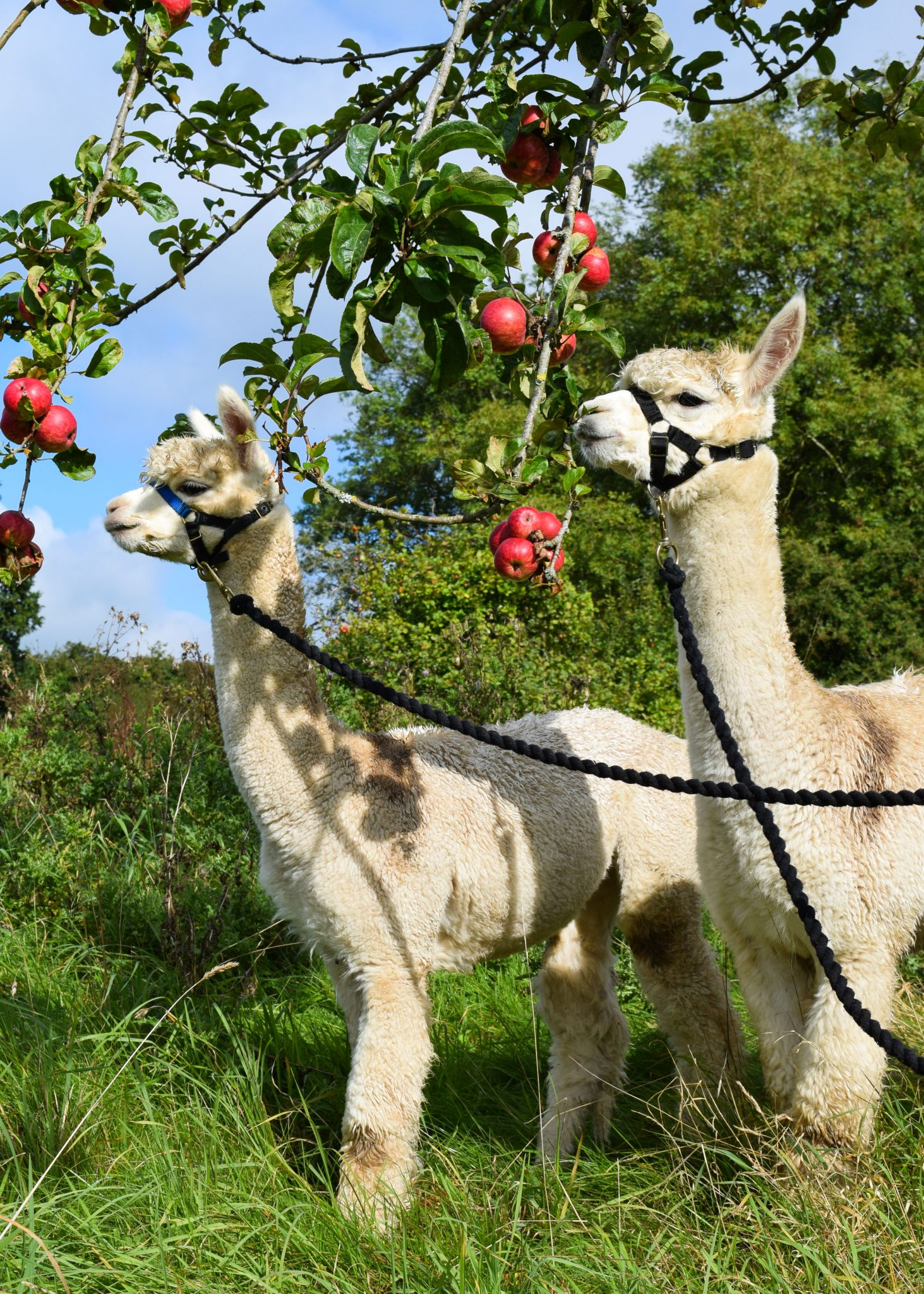 Two alpacas eating apples from a tree branch in the Little Orchard Alpacas field