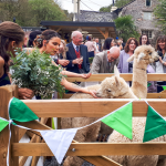Wedding guests fawning over two alpacas in a pen decorated with bunting