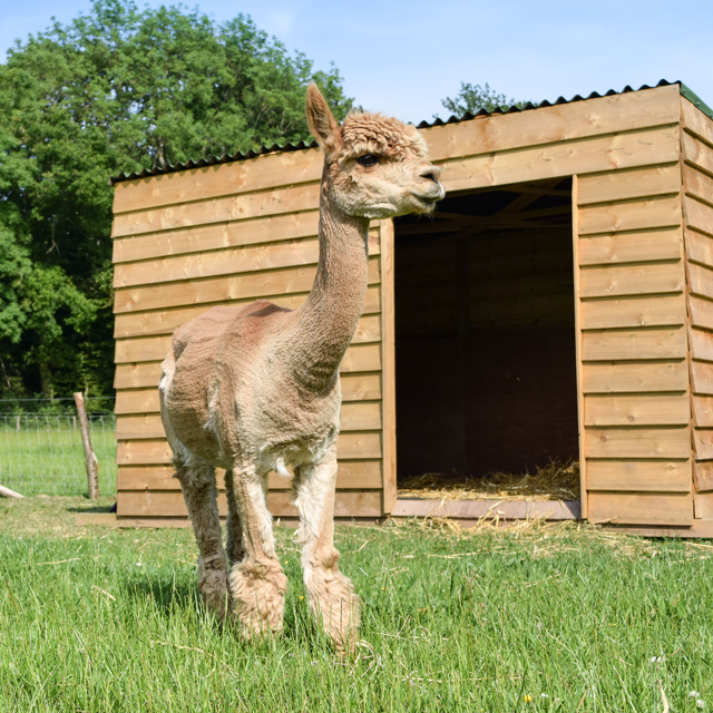 An alpaca standing outside of its shelter