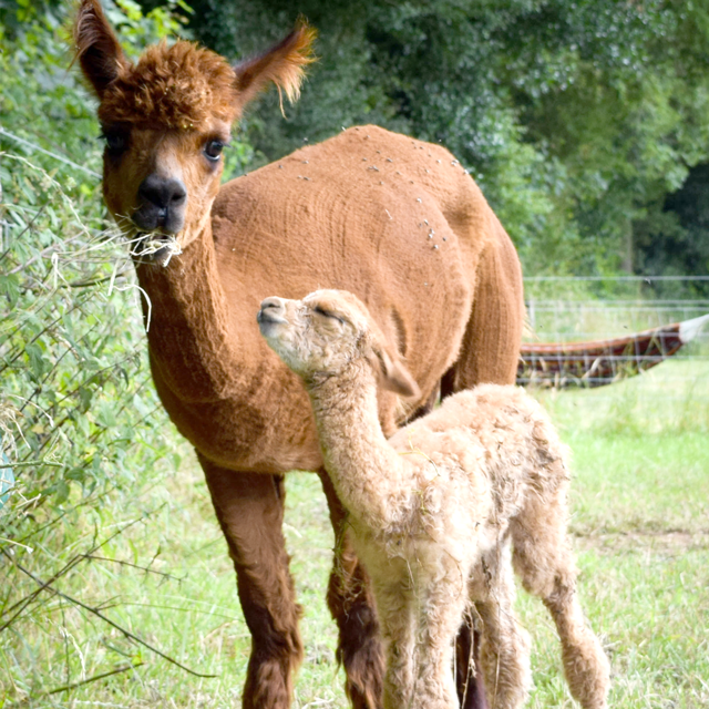 A mother alpaca eats hay whilst her cria looks up at her