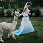 A bride leading an alpaca wearing a bespoke bowtie and harness at her wedding ceremony