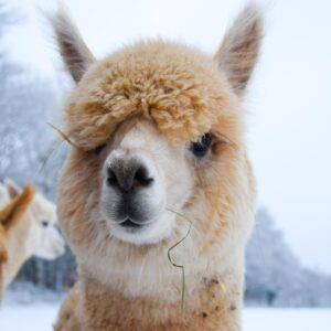 Adopt an Adult Alpaca