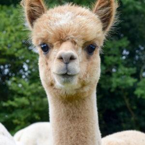 Meet the Alpacas Tour